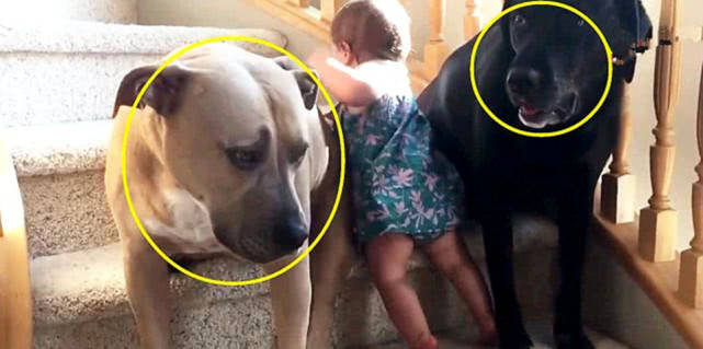 原创 忧郁宝宝爬楼梯被摔,主人让狗狗协助阻止,狗狗做法让人暖心