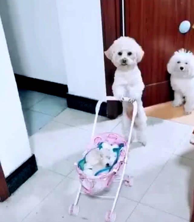 原创 泰迪推着婴儿车,主人进门往里看了一眼,马上被这操作折服了