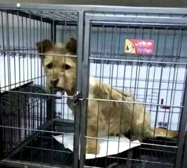 原创 狗狗被铁丝勒住脖子,获救时伤口惊心动魄,晚到一刻就一命呜呼!