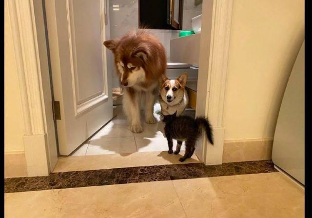 『柯基』阿拉斯加眼神躲避,柯基则向主人求救!,两只狗被猫逼得躲进厕所
