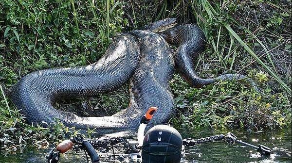 世上最大蛇类亚马逊森蚺,最长的网纹蟒,哪个对人类威胁更大些