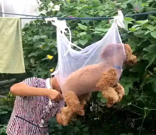 原创 泰迪不愿配合剪毛发,女子居然想出了损招:这下束手就擒了吧?