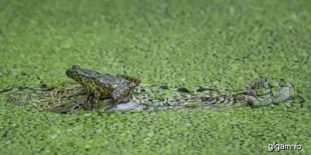 原创 胆儿真肥!蟾蜍竟敢停留在鳄鱼头上休憩!