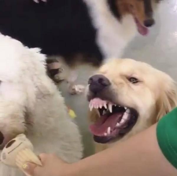 主人把玩具借给狗狗,金毛瞬间翻脸不认人?气的牙龈都露出来了?