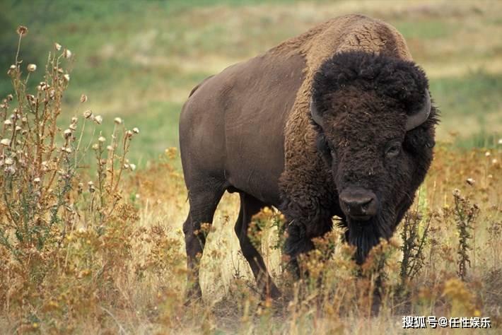 原创 熊对野牛:戏剧性的镜头显示黄石灰熊吞下一头野牛