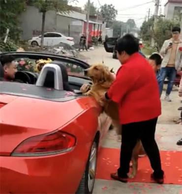 原创 主人要被婚车接走,金毛不舍得的一个行为,令人看了心疼又感动