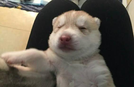 原创 看到主人将狗宝宝抱走,二哈忍不住上前亲吻,狗宝宝的反映亮了