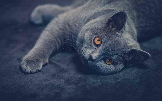 英短猫喜欢用这几种方式,对主人表达爱意,可惜很多人不知道