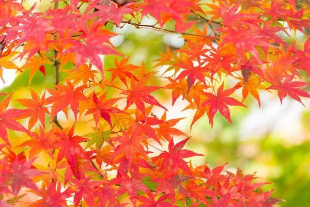窗外的枫树