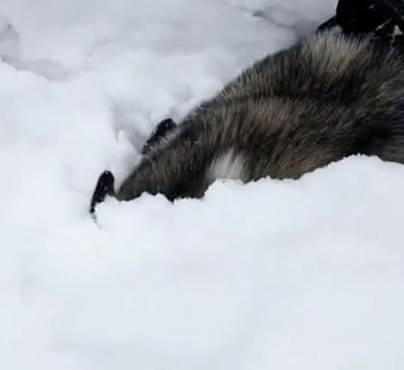 原创 二哈着迷雪景无法自拔,主人怕冷想叫它,转眼看去却忍不住笑了