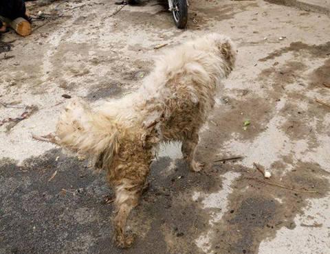 原创 雨过天晴后带萨摩耶出门,一不小心让它溜了,找到它时抓狂不已