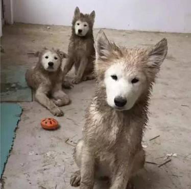 原创 狗狗常在泥巴里嬉戏,却唯独脸部干干净净,真相让主人忍俊不禁