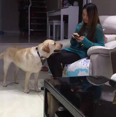 原创 主人玩手机没了电,让狗狗协助拿充电器,一系类的动作令人羡慕