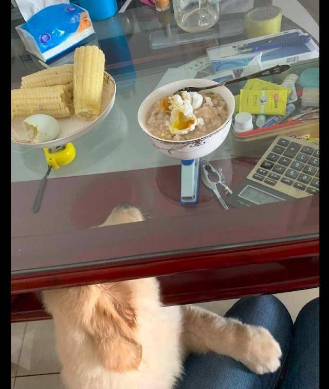 原创 主人把碗放茶几上,狗狗把头塞进了玻璃隔层里去吃,智商不在线啊