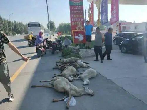 一号站平台登录网页:七只羊在过马路时被一辆公共汽车撞死了 但是他们经过了一辆汽车……夫人!