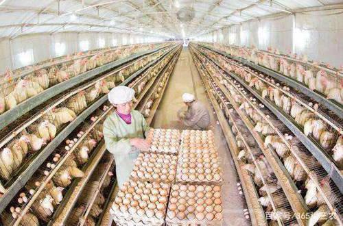 养鸡户 鸡蛋重回5元时代,这轮涨价能持续多久?