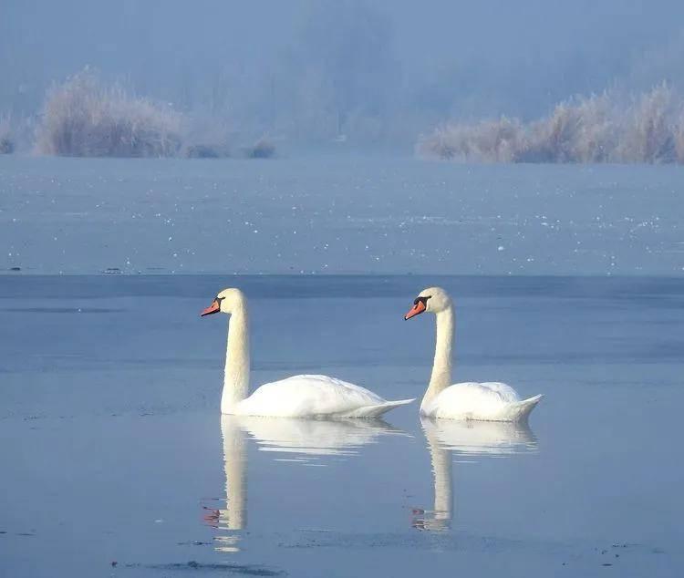 [COLOR 伊宁]芳草湖的天鹅