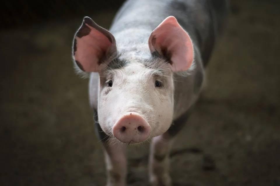 多家猪企上半年净利润增十倍,卖猪肉真那么赚钱?该怎么看?