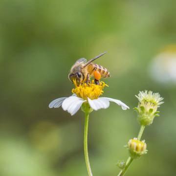 我是一只小蜜蜂。如果我不采集蜂蜜,我