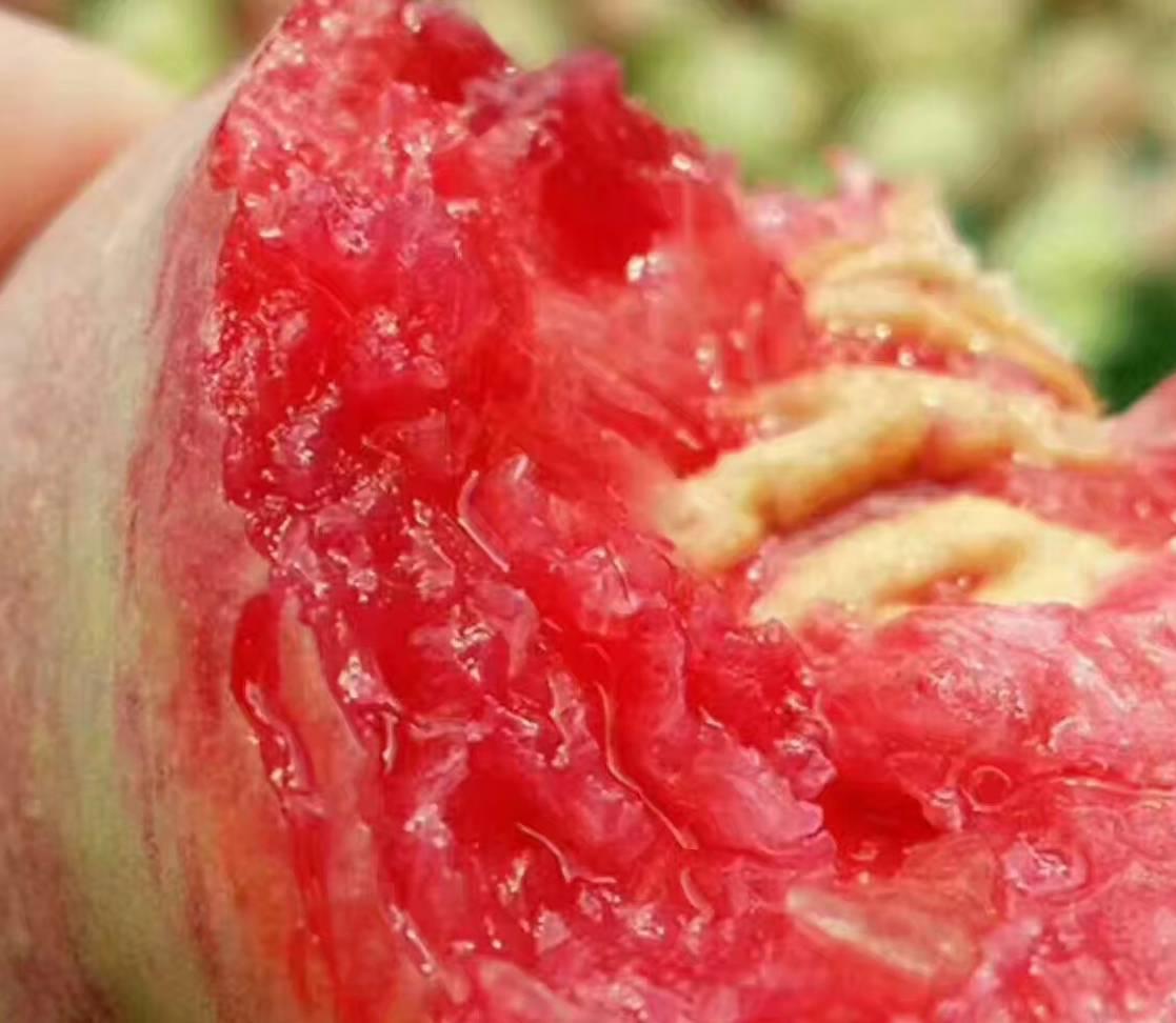 枇杷满树皆宝 张大伯收了二分之一吨西瓜