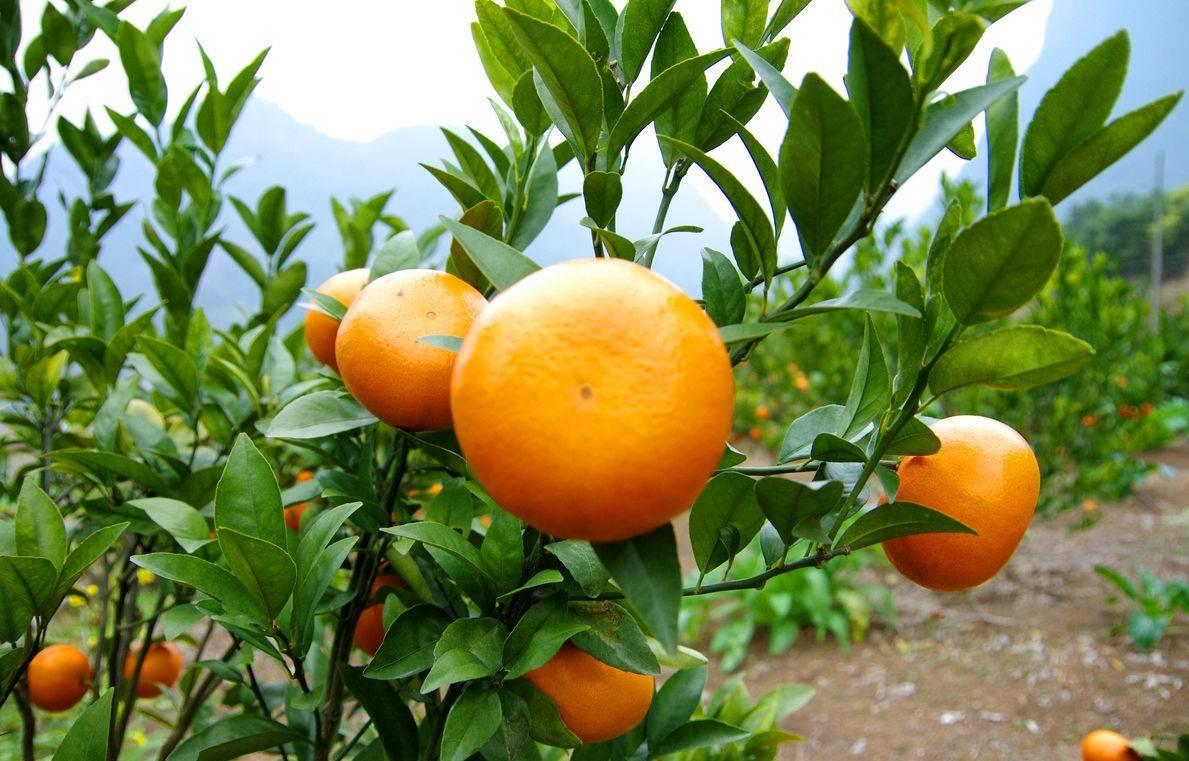 着色慢,上色难,味道酸涩的茂谷柑,用渔美荏着色快早上市