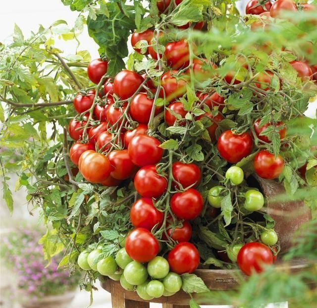 阳台种小番茄 摘红心 授粉搭棚 一次摘一