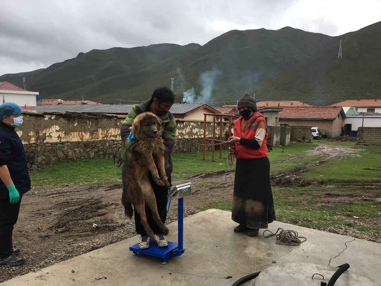 恒达官网数万藏獒流浪在藏区:攻击儿童、围攻雪豹 九成当地人反对捕杀(图7)