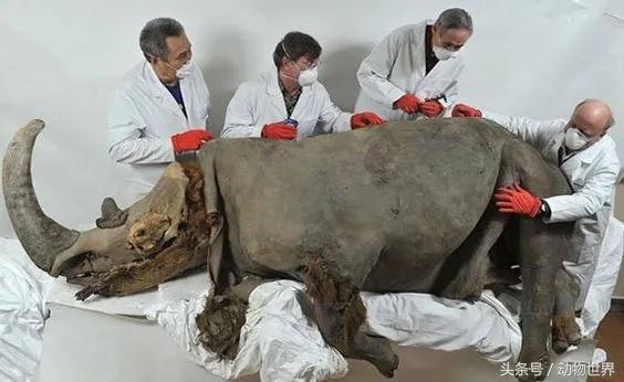披毛犀角是什么?唯一能合法收藏的犀角,你见过吗?【披毛犀角百科】 网络快讯 第16张