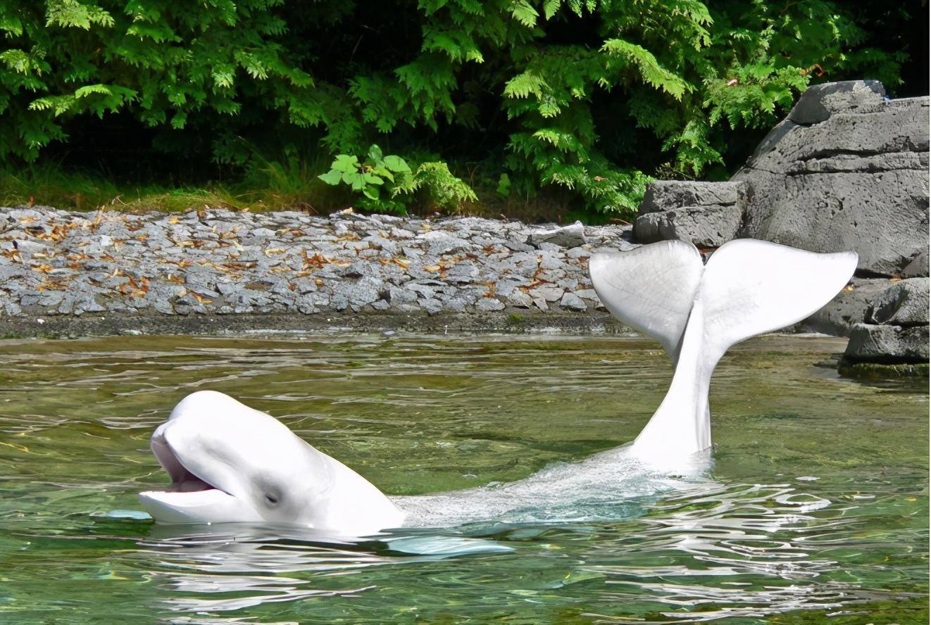 白鲸母子命悬一线,鲸宝宝发出婴儿啼哭,鲸妈妈为救孩子被撞伤