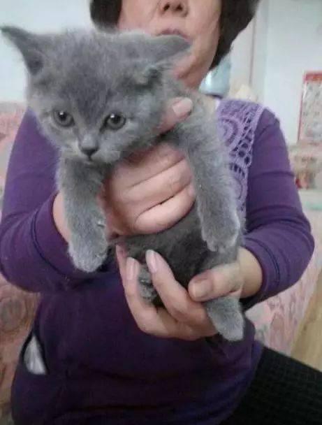 生娃把小蓝猫寄养在奶奶家,接回来时比1岁宝宝还大坨