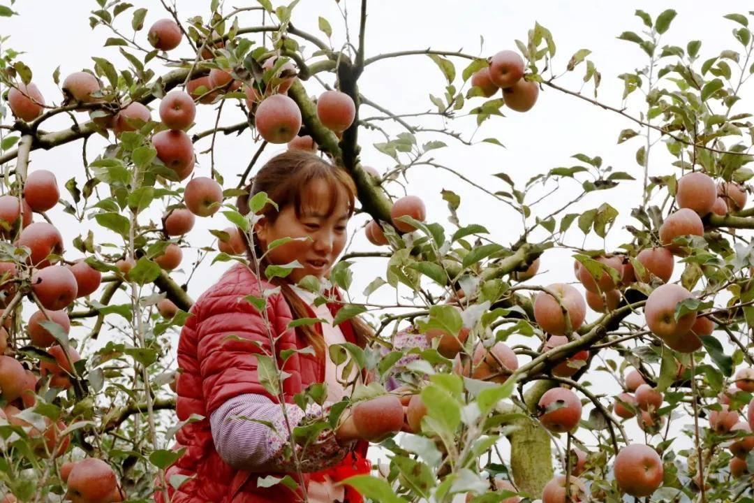 """高原红苹果 致富""""金果果""""――威宁50万亩"""
