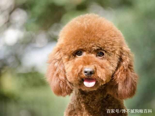 饲养泰迪犬,最好选择公泰迪,原因有5点!