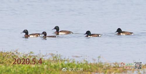 """极危物种""""青头潜鸭""""现身鄱阳湖 已连续7年被监"""