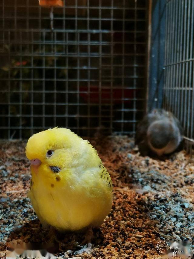 普通模式原图(73mm-等效35mm 胶片焦距) 再说到鹦鹉,要想定格满笼子飞图片
