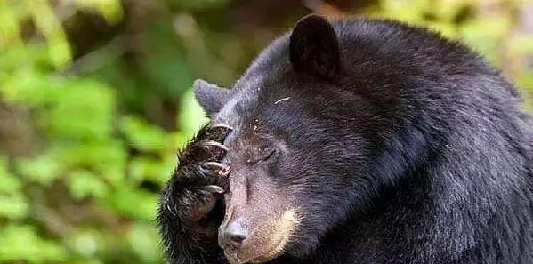 """狗狗阻止黑熊进入主人家偷吃,黑熊偷走狗粮举行""""抨击"""""""
