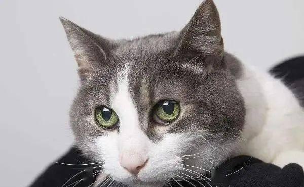 短毛猫图片