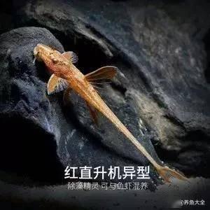 短鲷吃大和藻虾
