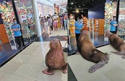 """在商場內""""遛""""海象,起碼的保護意識呢?"""