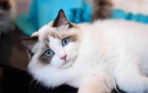 布偶猫的饲养与管理图片