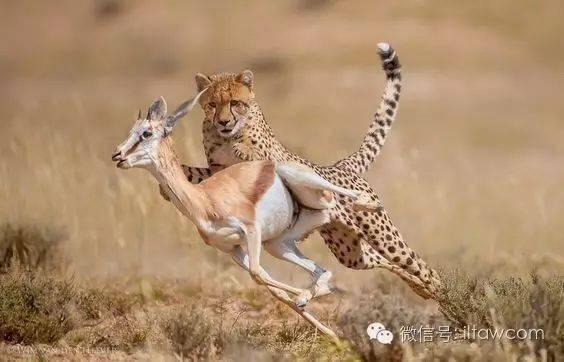 猫科成员中最怪异的物种-猎豹