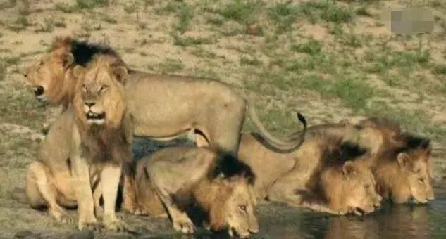 """直击非洲狮子""""坏男孩同盟"""",6只雄狮横扫草原,1年屠杀上百只狮子"""