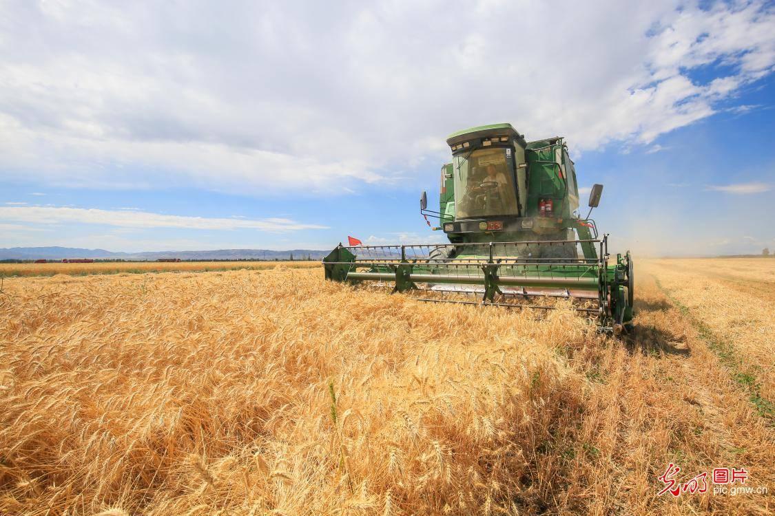 新疆呼图壁:天山脚下麦收忙