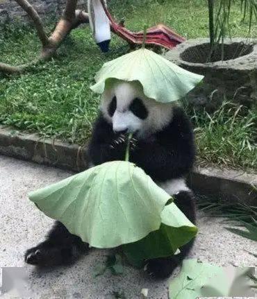 大熊猫被热坏,把荷叶放头上,游客看去顿时被它萌到…