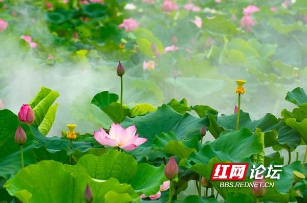 长沙凤羽湖:烟雨朦胧 过雨荷花满院香