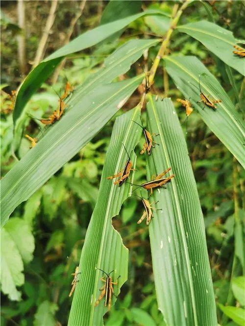 警惕!这种蝗虫入侵云南,活动区域超11万亩
