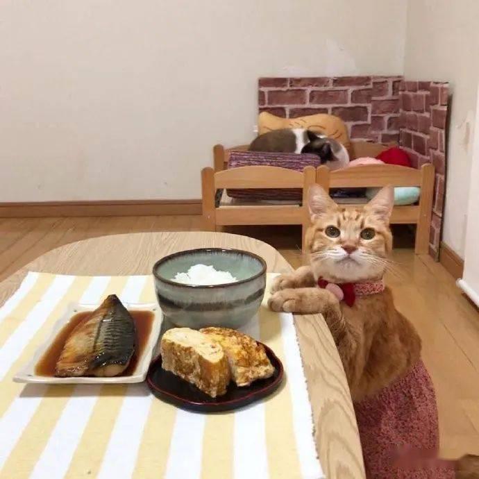 猫咪想吃桌上的食物,可是又怕铲屎官不同意