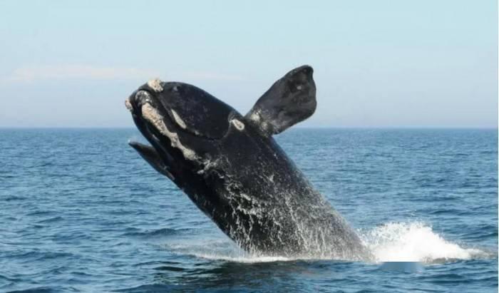 IUCN:北大西洋露脊鲸、狐猿及欧洲仓鼠成为极度濒危物种