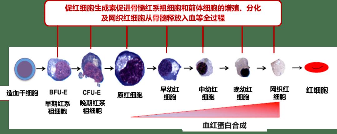 传承经典,推陈出新:聚焦重组人促红细胞生成素