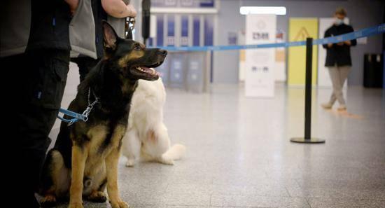 俄罗斯训练的15只杂交狗将在机场识别新冠肺炎吸烟者