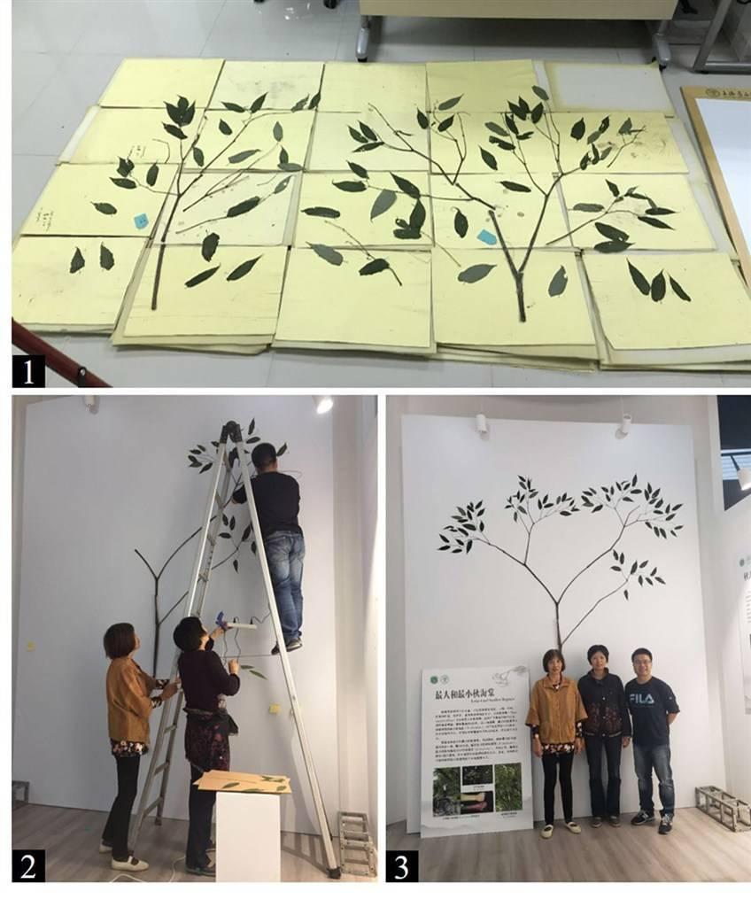 高3.6米 茎部比拳头还大 辰山植物园制作完成世界最大秋海棠模式标本